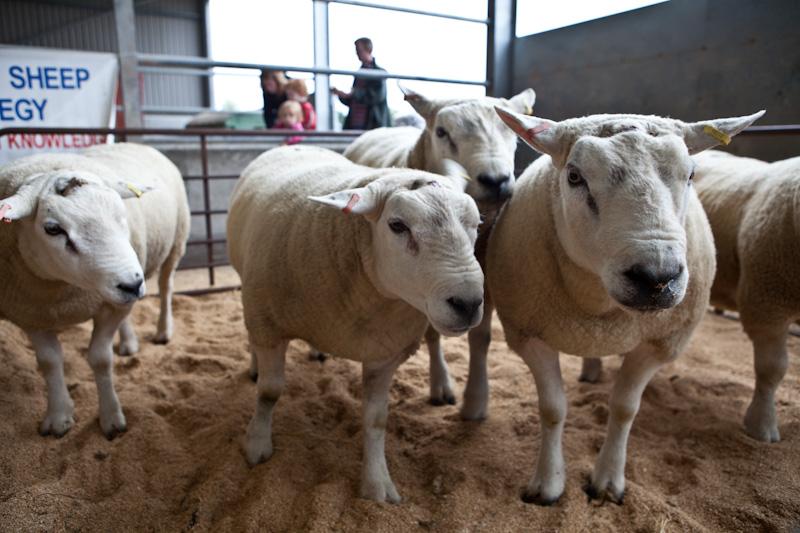 Stud Sheep | Fearn Farm